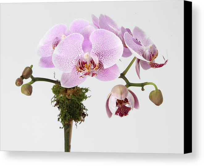 Horizontal Canvas Print featuring the photograph The Branch Of A Flowering Orchid by Nicholas Eveleigh