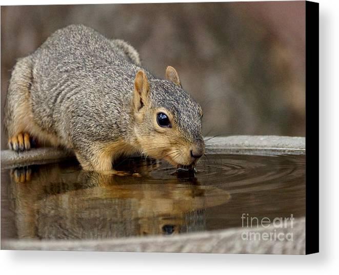 Squirrel Canvas Print featuring the photograph Fox Squirrel by Lori Tordsen