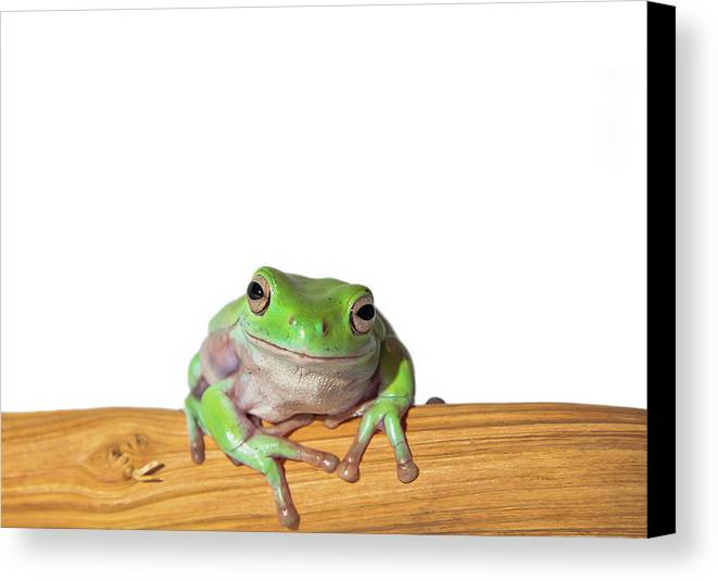 Horizontal Canvas Print featuring the photograph Whites Tree Frog by Www.tommaddick.co.uk