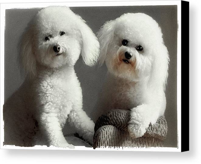 Bichon Frise Canvas Print featuring the photograph All Smiles by Lynn Andrews