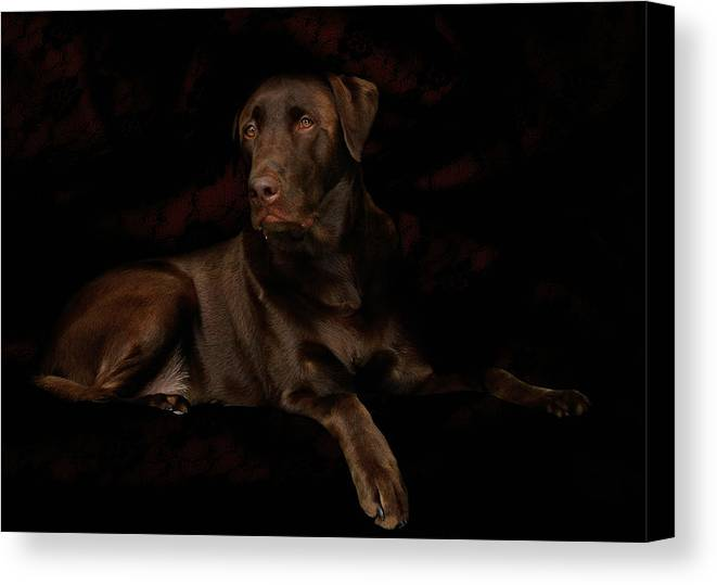 Labrador Dog Canvas Print featuring the photograph Chocolate Lab Dog by Christine Till
