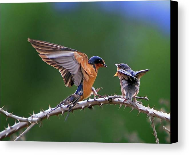 Birds Canvas Print featuring the photograph Feed Me by William Lee