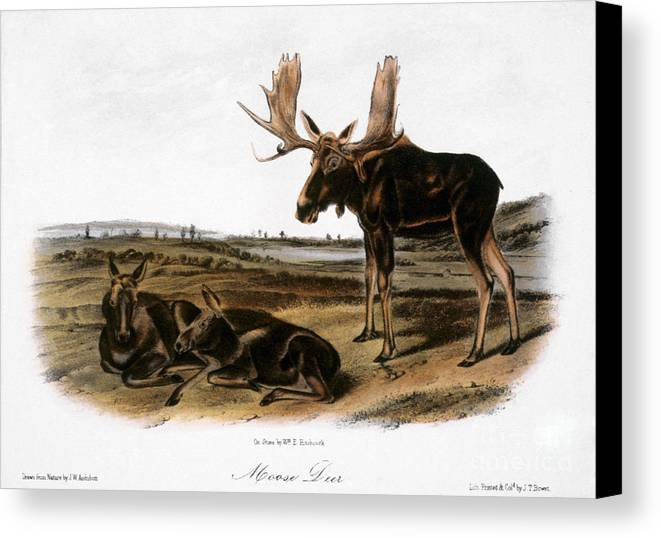 1846 Canvas Print featuring the photograph Moose Deer (cervus Alces) by Granger