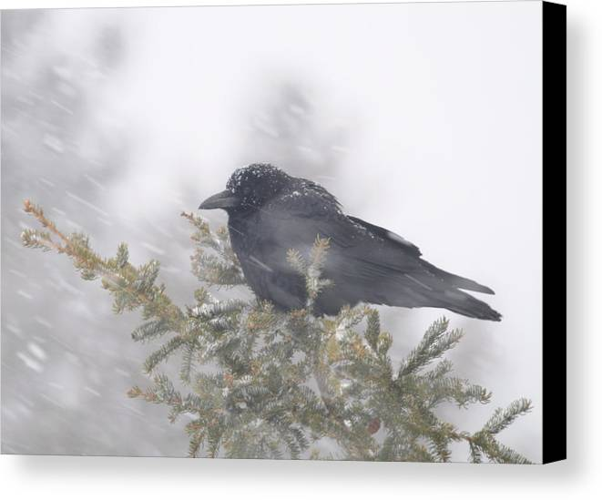 Crow  Wind  Snowstorm Canvas Print featuring the photograph Blowin' In The Wind - Crow by Sandra Updyke