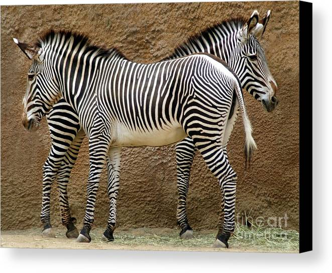 Zebra Canvas Print featuring the photograph Got Your Back by Dan Holm