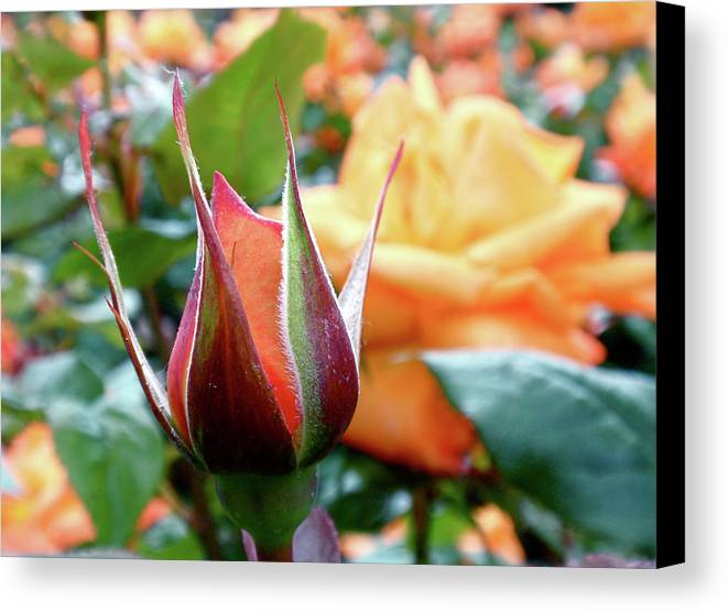 Bud Canvas Print featuring the photograph Starting Out by Rona Black