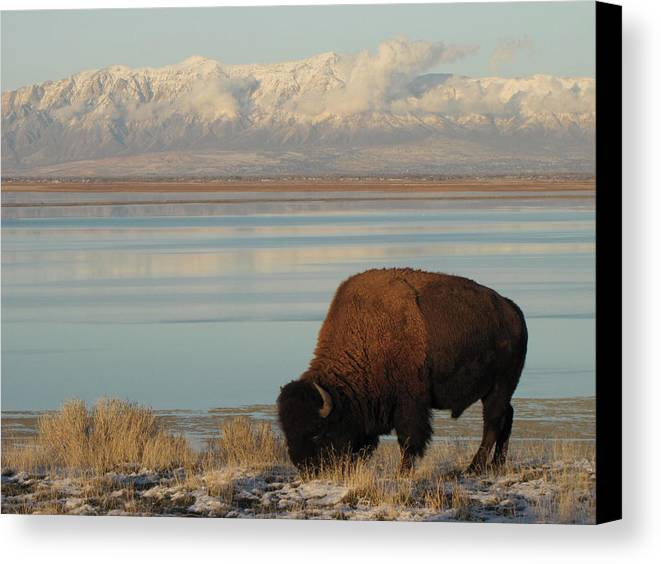 Horizontal Canvas Print featuring the photograph Bison In Front Of Snowy Mountains by Mathew Levine