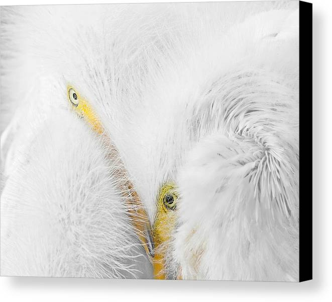 Ardea Alba Canvas Print featuring the photograph Peering Thru Feathers by Dawn Currie