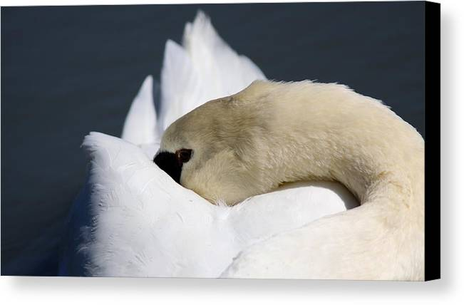 Swan Canvas Print featuring the photograph Snoozer - Swan by Travis Truelove