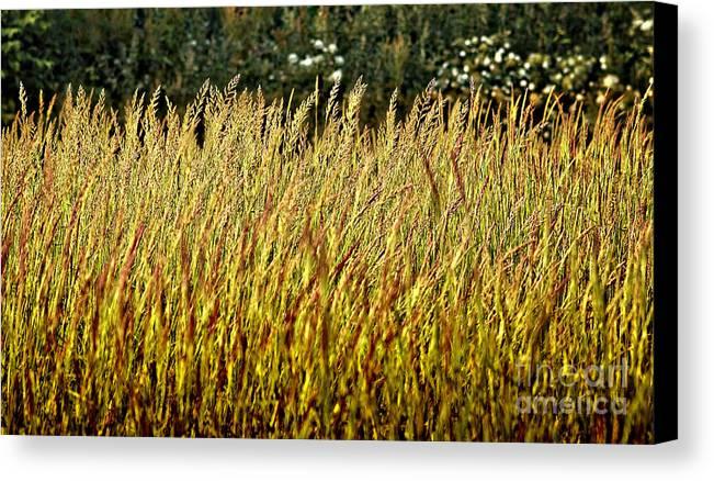 Grass Canvas Print featuring the photograph Golden Grasses by Meirion Matthias