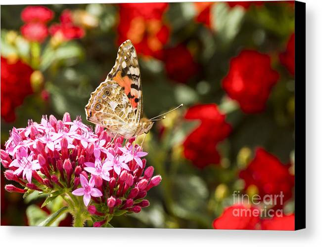 Painted Lady Canvas Print featuring the photograph Painted Lady Butterfly by Eyal Bartov