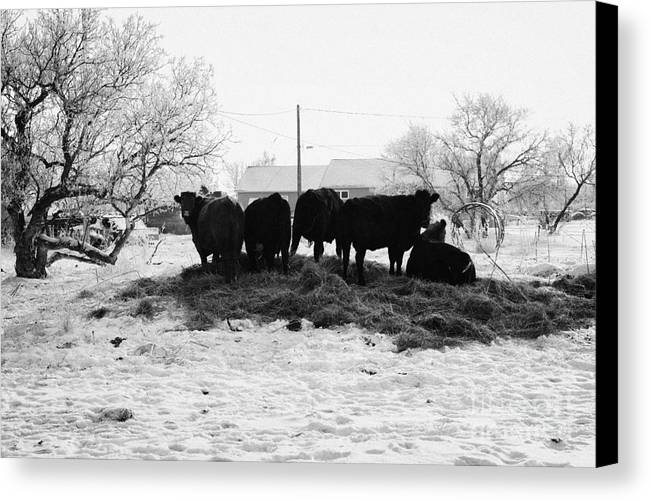 Feed Canvas Print featuring the photograph feed and fresh grass laid out for cows on winter farmland Forget Saskatchewan Canada by Joe Fox