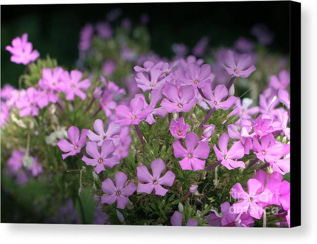 Summer Canvas Print featuring the photograph Summer Phlox by Jeannie Burleson