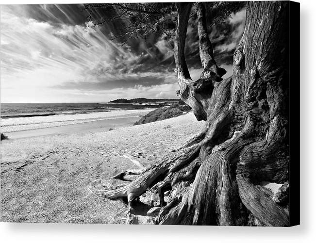 Carmel Beach Tree Roots Sandy Monterey Peninsula California Coastline Pacific Ocean Usa Black And Wh Canvas Print featuring the photograph Tree Roots Carmel Beach by George Oze