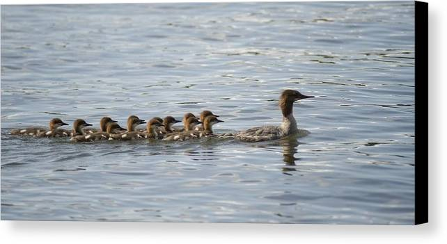 Animal Canvas Print featuring the photograph Duck And Ducklings Swimming In A Row by Keith Levit