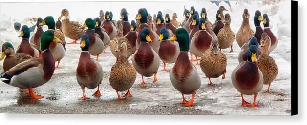 Ducks Canvas Print featuring the photograph Duckorama by Bob Orsillo