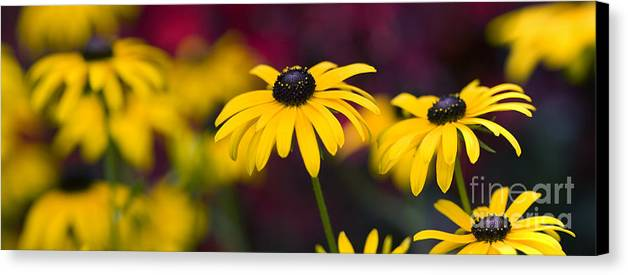 Rudbeckia Fulgida Canvas Print featuring the photograph Late Summer Rudbeckia by Tim Gainey