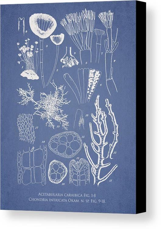 Algae Canvas Print featuring the drawing Acetabularia Caraibica And Chondria Intricata by Aged Pixel