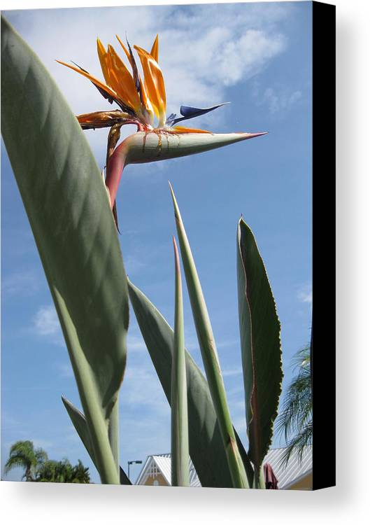 Plant Canvas Print featuring the photograph Bird Of Paradise by Brenda Burns