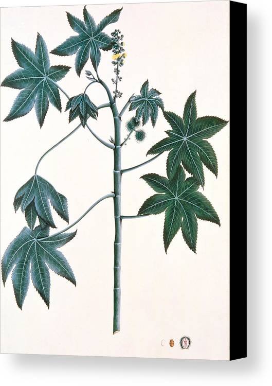 Leaf Canvas Print featuring the painting Castor Oil Plant by Indian School