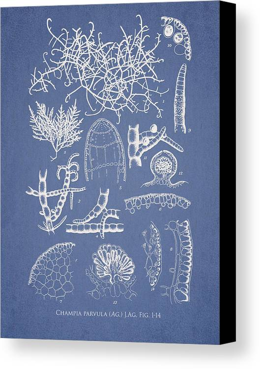 Algae Canvas Print featuring the drawing Champia Parvula by Aged Pixel