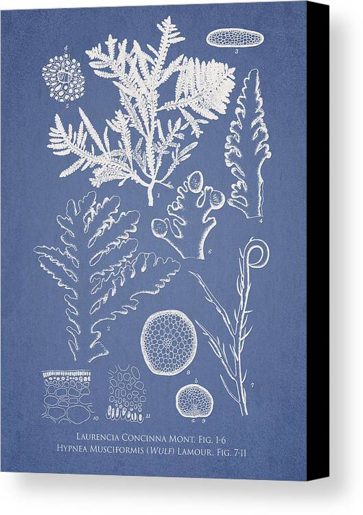 Algae Canvas Print featuring the drawing Laurencia Concinna And Hypnea Musciformis by Aged Pixel