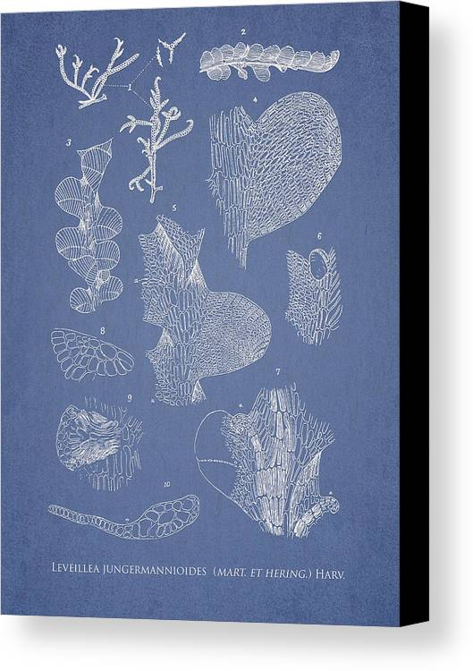 Algae Canvas Print featuring the drawing Leveillea Jungermannioides by Aged Pixel