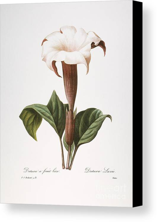 1833 Canvas Print featuring the photograph Redoute: Datura, 1833 by Granger