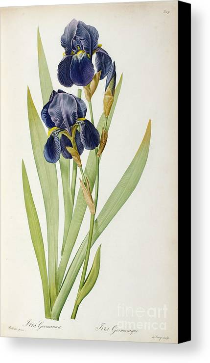 Iris Canvas Print featuring the painting Iris Germanica by Pierre Joseph Redoute