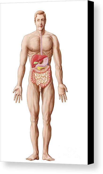 Vertical Canvas Print featuring the digital art Anatomy Of Human Digestive System, Male by Stocktrek Images