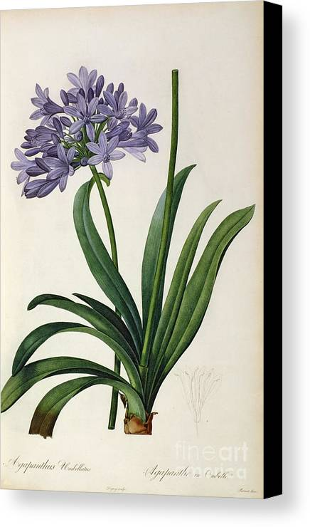 Agapanthus Canvas Print featuring the painting Agapanthus Umbrellatus by Pierre Redoute