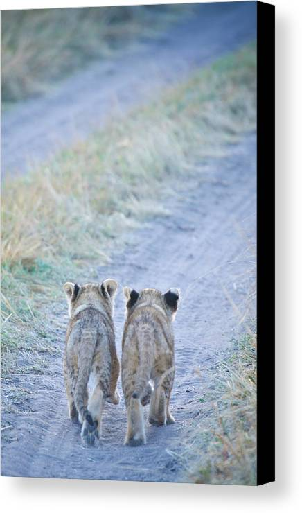 Vertical Canvas Print featuring the photograph Lion Cubs Walking Together In Masai Mara by Mehmed Zelkovic