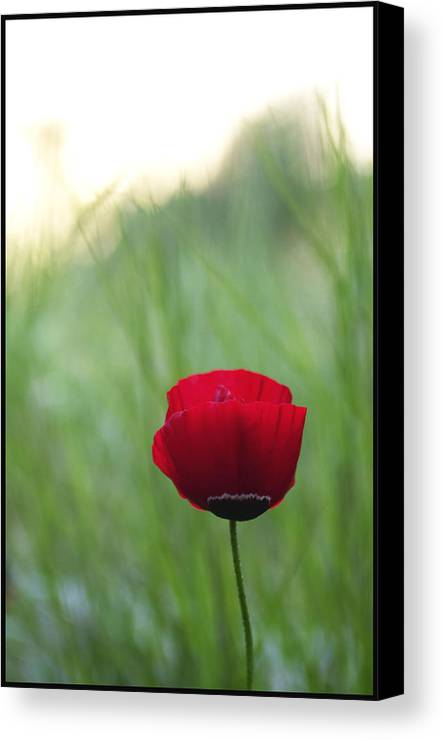 Flower Canvas Print featuring the photograph Sunset Poppy by Julia Bridget Hayes