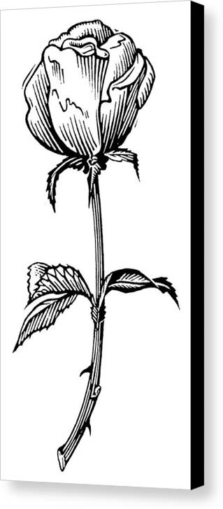 Rosa Sp. Canvas Print featuring the photograph Rose, Lino Print by Gary Hincks