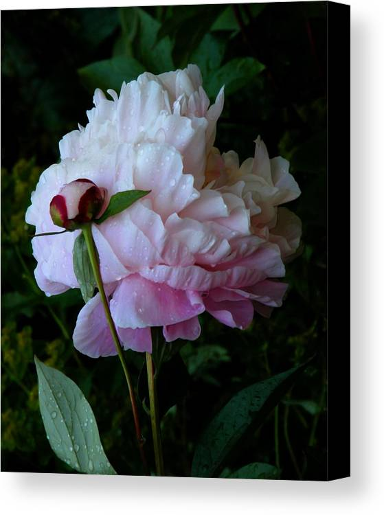 Peony Canvas Print featuring the photograph Rain-soaked Peonies by Rona Black