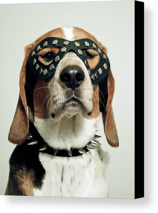 Vertical Canvas Print featuring the photograph Hound In Black Mask by Darren Boucher