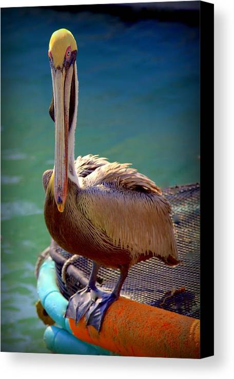 Pelicans Canvas Print featuring the photograph Rainbow Pelican by Karen Wiles