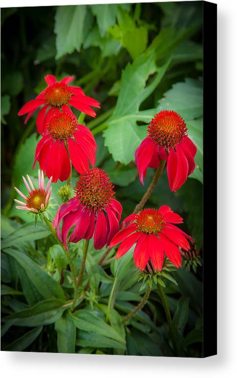 Echinacea Canvas Print featuring the photograph Coneflowers Echinacea Red by Rich Franco