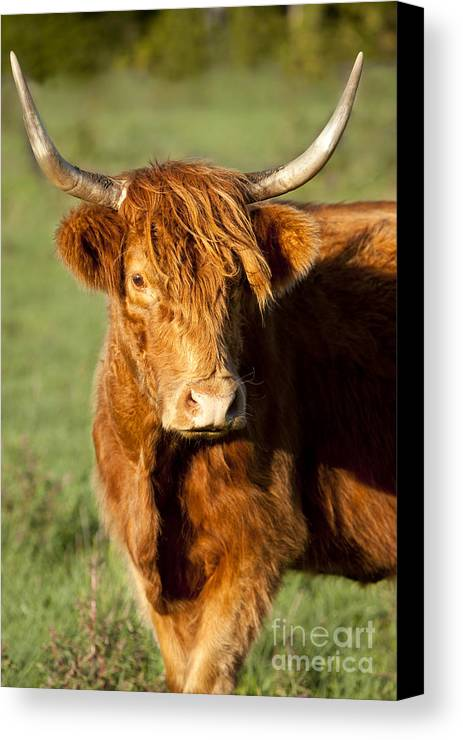 Scottish Canvas Print featuring the photograph Highland Cow by Brian Jannsen