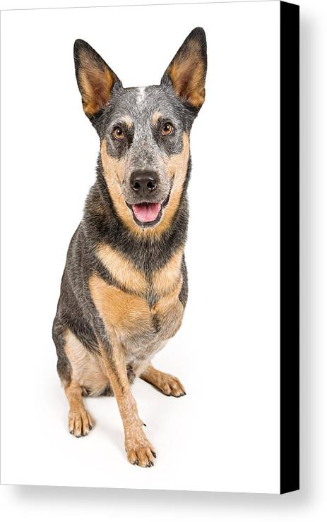 Dog Canvas Print featuring the photograph Australian Cattle Dog With Missing Leg Isolated On White by Susan Schmitz
