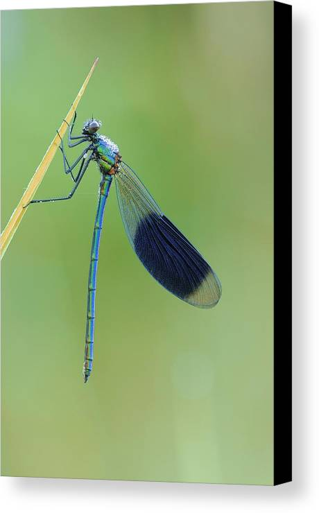 Adult Canvas Print featuring the photograph Banded Demoiselle Damselfly by Science Photo Library