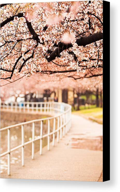 Cherry Canvas Print featuring the photograph Canopy Of Cherry Blossoms Over A Walking Trail by Susan Schmitz