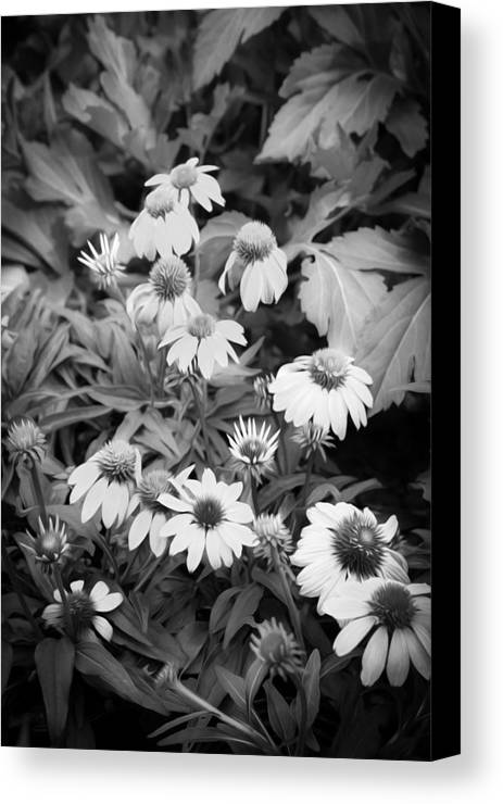Echinacea Canvas Print featuring the photograph Coneflowers Echinacea Rudbeckia Bw by Rich Franco