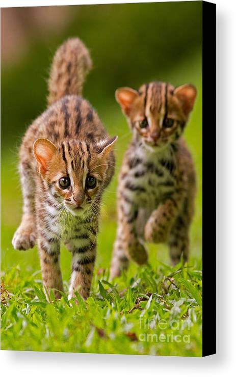 Adorable Canvas Print featuring the photograph Leopard Stampede by Ashley Vincent