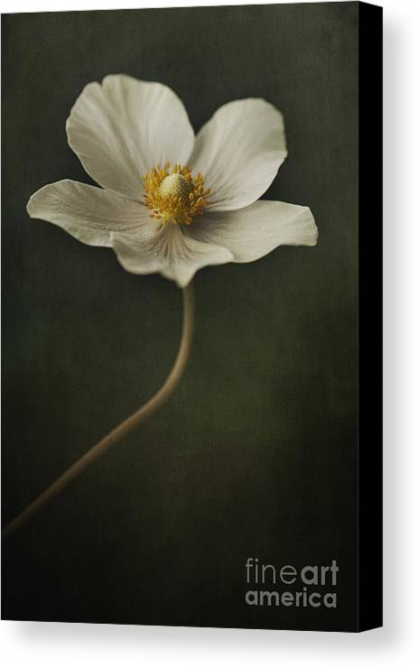 Anemone Canvas Print featuring the photograph Light Dancer by Priska Wettstein
