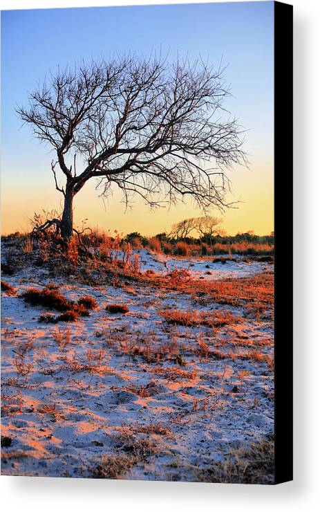 Assateague Island Canvas Print featuring the photograph Prevailing by JC Findley