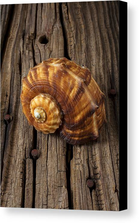 Sea Shell Canvas Print featuring the photograph Sea Snail Shell On Old Wood by Garry Gay