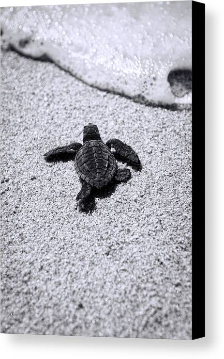Baby Loggerhead Canvas Print featuring the photograph Sea Turtle by Sebastian Musial