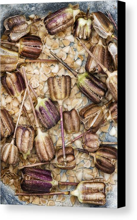 Snakes Head Fritillary Canvas Print featuring the photograph Snakes Head Fritillary Flower Seeds Pattern by Tim Gainey