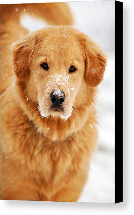 Snowy Canvas Print featuring the photograph Snowy Golden Retriever by Christina Rollo